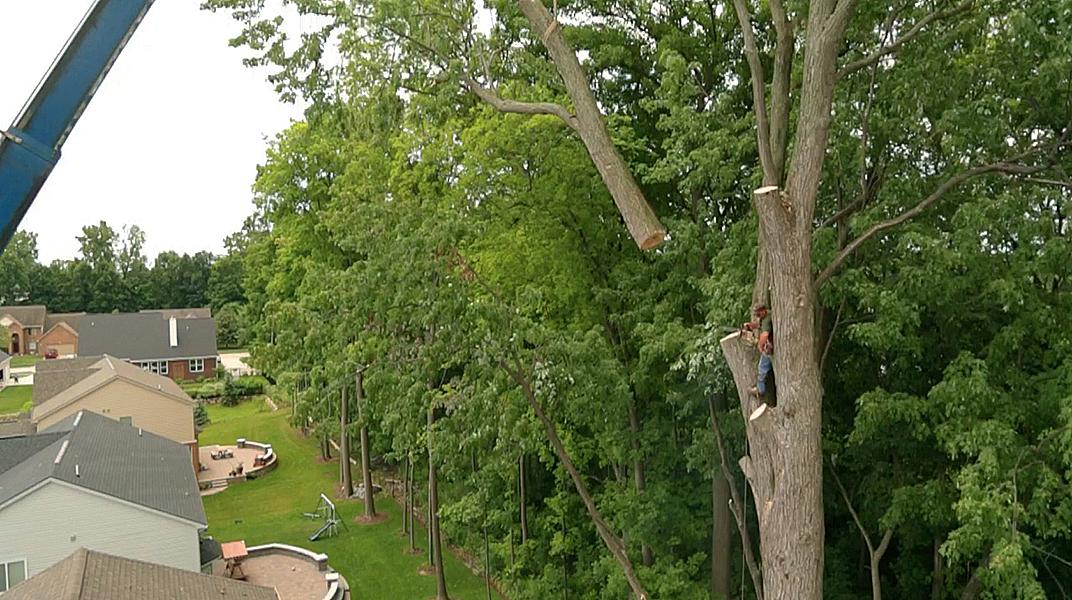 oaklandtreeservicemarkclimbing3
